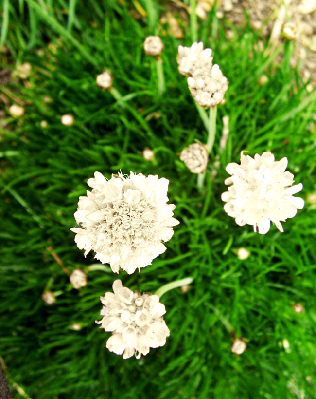 White blooming sea thrift