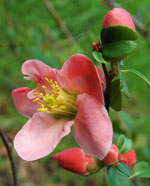 Pink form flowering quince